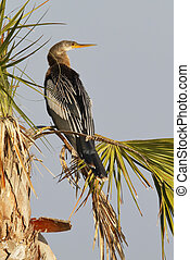 Female Anhinga perched in a palm tree - Melbourne, Florida -...