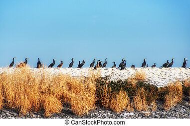 Cormorants (phalacrocorax carbo) on a dike, Den Oever, The...