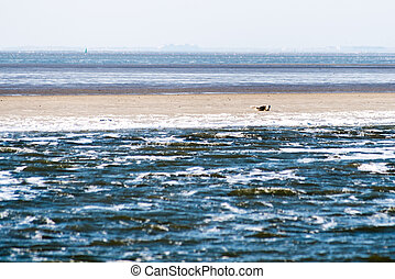 Sandbank with seals at the North of the Netherlands in the...