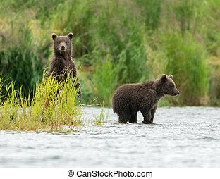 Alaskan brown bear cubs