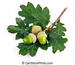 green acorn fruits with leaves isolated on white background