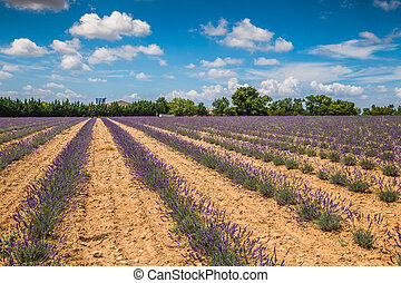 Lavender fields near Valensole in Provence, France. Rows of...