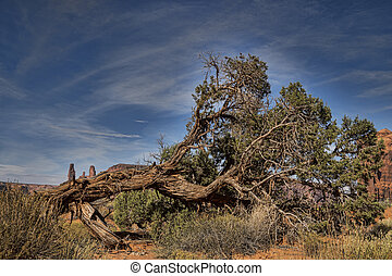 Fallen Desert Tree - A gnarly old fallen tree in Monument...