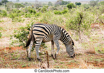 zebra with alittle bird on its back - A zebra with a little...