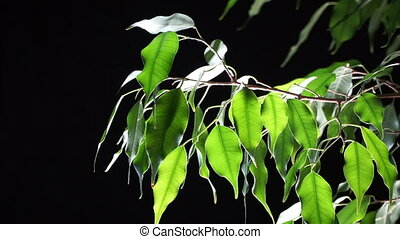 Green plant ficus on black background. - Green plant ficus,...