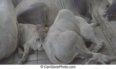 Calf resting between herd of white cows in temple...