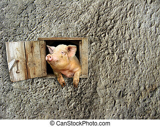 pig looks out from window on the stony wall