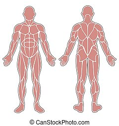 Human body muscles - Human muscles silhouette isolated on...