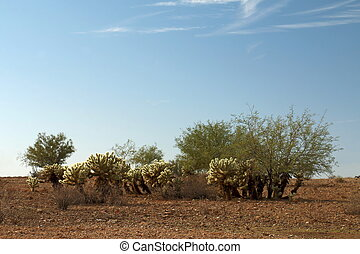 Cholla Patch with Mesquite - A Teddy Bear Cholla patch mixed...