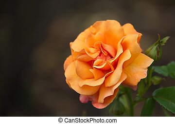 Yellow Rose - Rose in the Government House park, Victoria,...