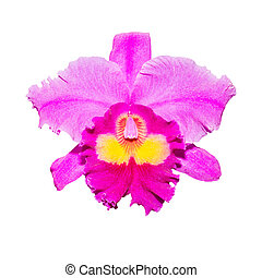 purple orchid isolated on white background with clipping path