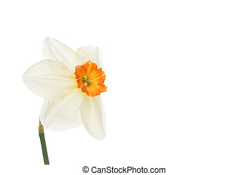 Daffodil with copy space