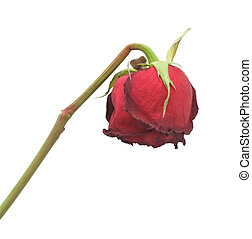 Dried rose, isolated - Faded Rose, isolated on a white...
