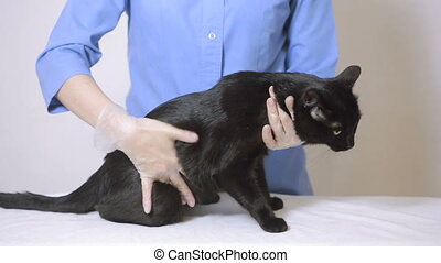 Veterinarian doctor checking cat at a vet clinic, inspects