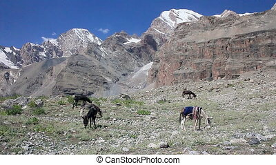 Donkeys on a background of mountains. Pamir. Tajikistan