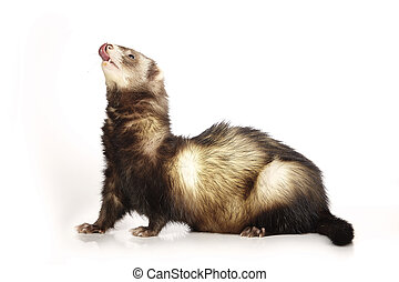 Ferret male on reflective white background - Ferret on white...