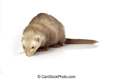 Chocolate ferret on reflective white background - Ferret on...