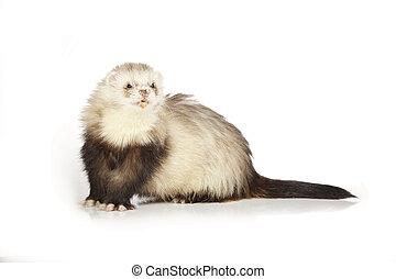Angora ferret on reflective white background - Ferret on...