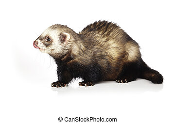 Nice ferret on reflective white background - Ferret on white...