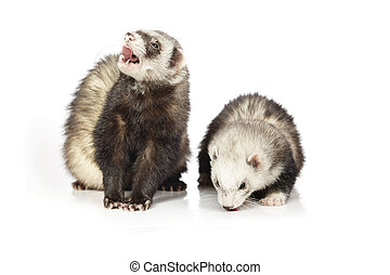 Couple of ferrets on reflective white background - Ferret on...