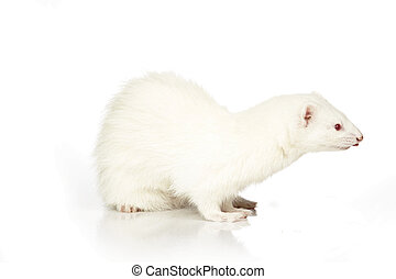 Albino Ferret on reflective white background - Ferret on...