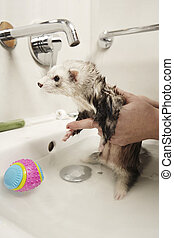 Bathing of Ferret female in wash basin - Pretty ferret...