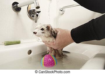 Bathing of Ferret female in wash basin - Pretty ferret...