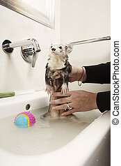 Ferret female in bathroom wash basin - Pretty ferret female...