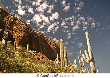 Saguaro Cactus Landscape from Tonto National Monument
