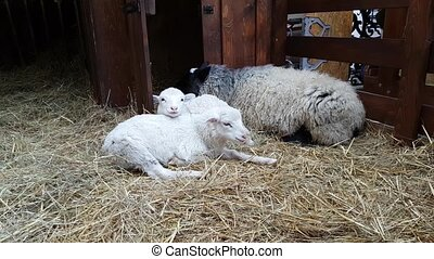 Sheeps in the barn at Christmas fair - Sheeps in the barn on...
