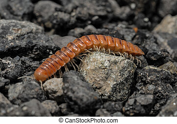 Closeup of one Red Brown Centipede on the Floor