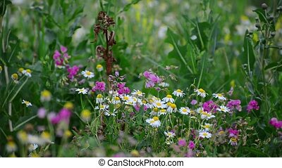 camera moves along the meadows with daisies and other...