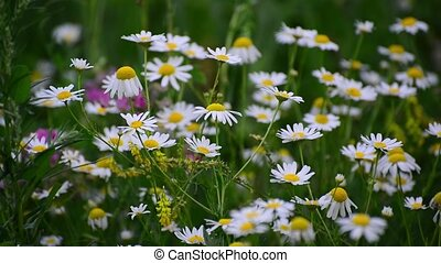 Many white daisies gently swaying in wind - Many white...