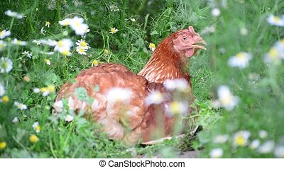 Chicken is hidden from the summer heat in flowers - Chicken...