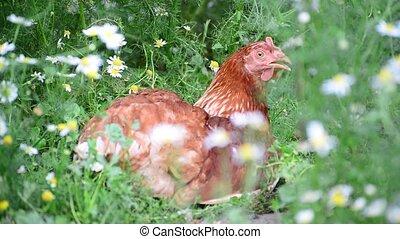 Chicken is hidden from the summer heat in flowers - Chicken...