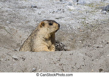 Funny marmot peeking out of a burrow in Ladakh, India ....