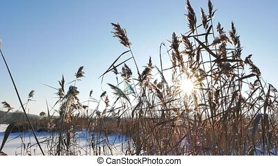 Reed against the background of the winter sky against...