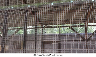 common genet genetta animal lie high on zoo cage. Zoom in. -...