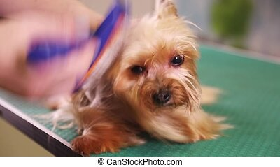 Yorkshire terrier grooming - Grooming the fur of Yorkshire...