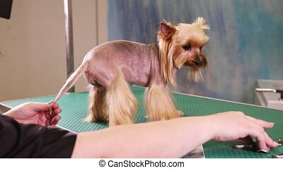 Haircut of Yorkshire terrier dog - Groomer using scissors to...