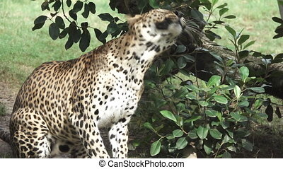 A leopard shakes head in super slow motion - Closeup view of...
