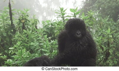 Baby mountain gorilla over mom, zooming - Front view of baby...