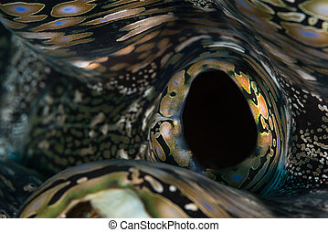 Giant clam abstract - Abstract macro closeup of fluted giant...
