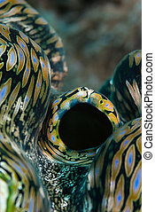 Fluted giant clam - Abstract portrait aspect macro of fluted...