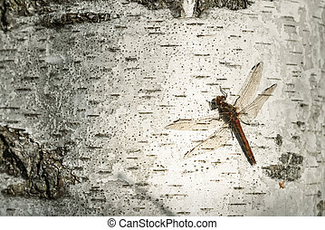 dragonfly sitting on birch trunk close-up - dragonfly...