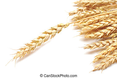 ear wheat - isolated golden wheat ear after the harvest