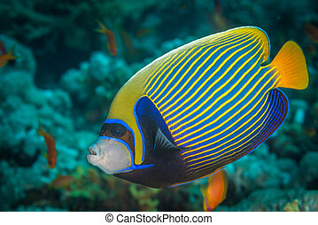 Emperor angelfish (Pomacanthus imperator) swimming over a...