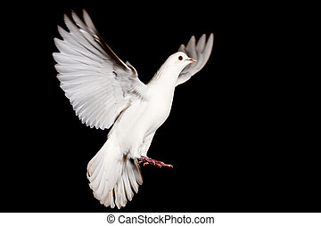 white dove of peace flying on a black background