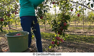 girl collects harvest - woman plucks the apples in the...