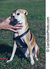 Retrato, gramado,  pinscher, cão